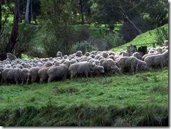 Sheep007
