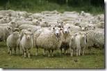 favorite sheep