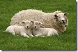 sheep & Young