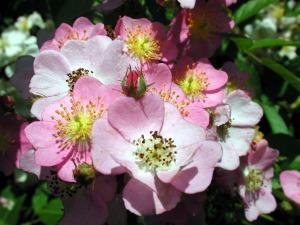rosa_multiflora_pink