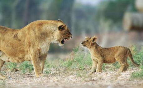 papa-lion